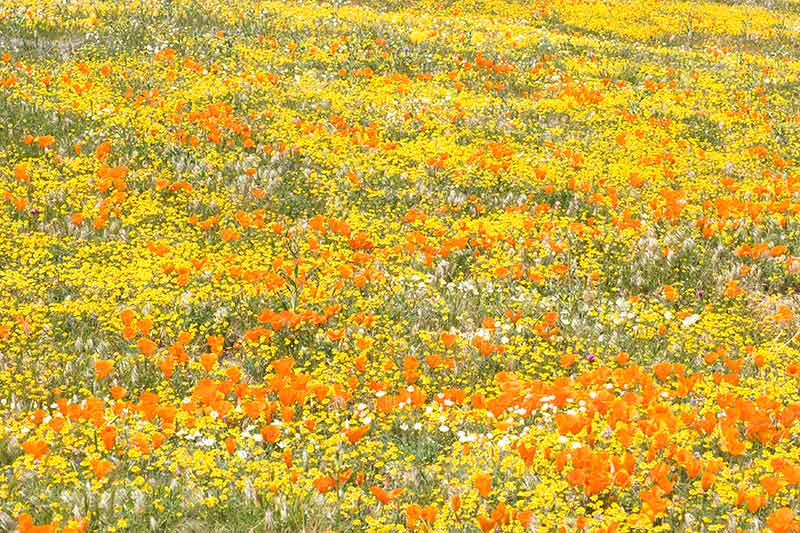 Goldfields and Golden Poppies, Antelope Valley Poppy Reserve, California