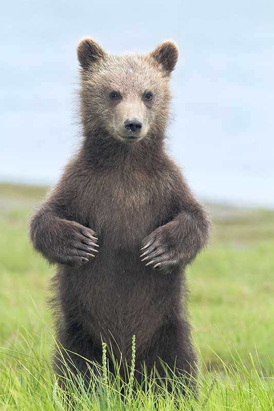 Grizzly Bear Cub Standing in Meadow at Silver Salmon Creek, Lake Clark National Park, Alaska
