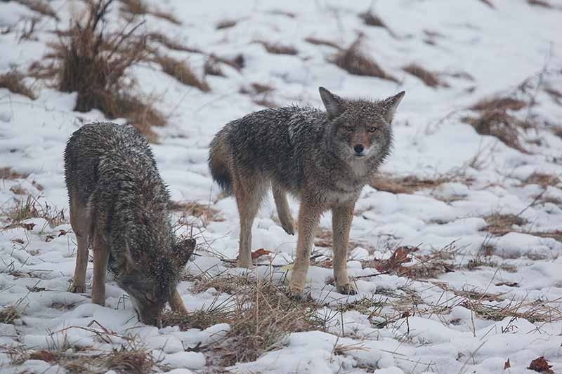 Two Coyotes in December Snowstorm at Cooks Meadow, Yosemite National Park, California