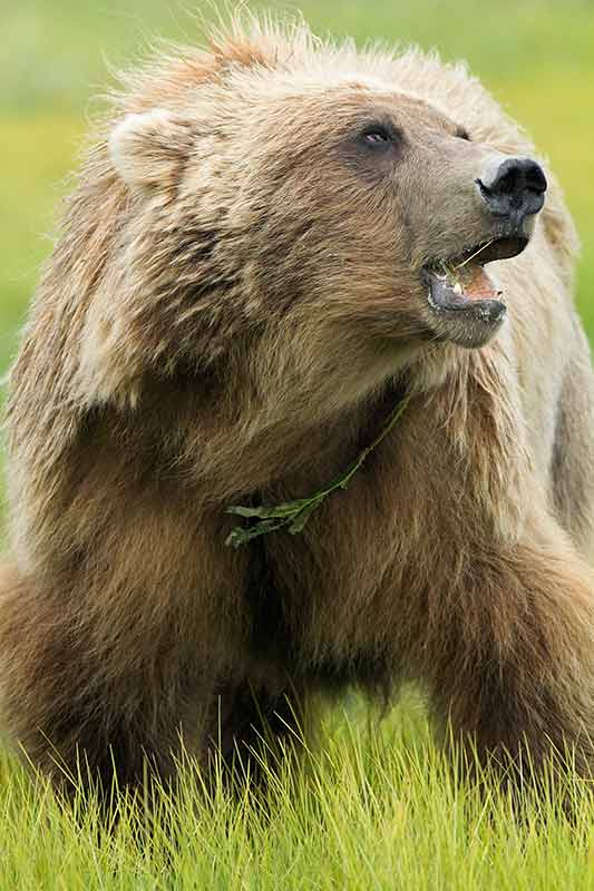 Grizzly Bear Feeding on Grass, Lake Clark National Park, Alaska