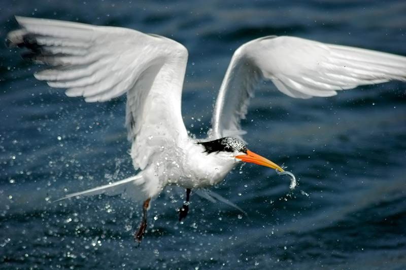 Royal Tern Flying with Fish in Mouth, Bolsa Chica Ecological Reserve, California