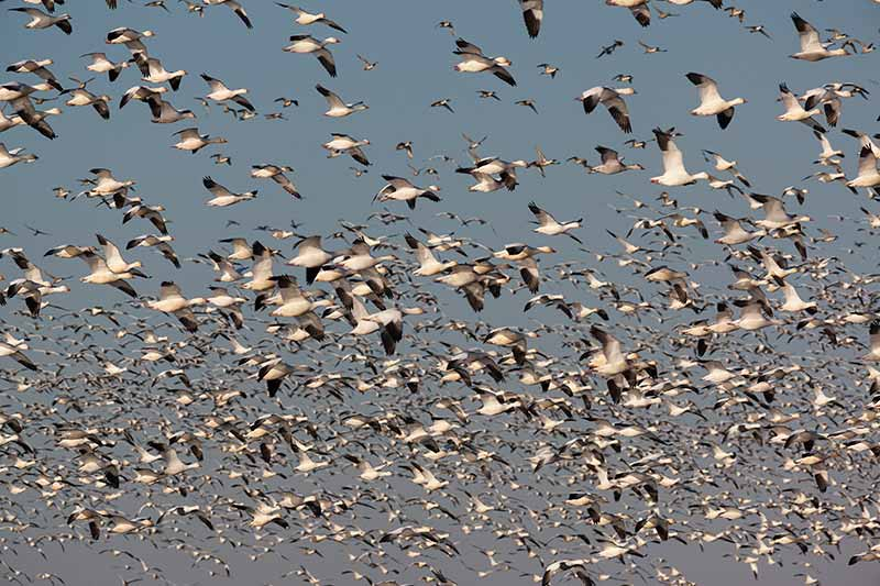 Birds in Flight, Merced National Wildlife Refuge, California