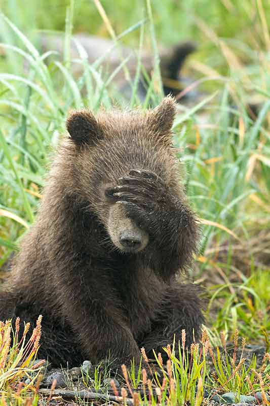 Grizzly Bear Cub Covering Face with Paw, Lake Clark National Park, Alaska